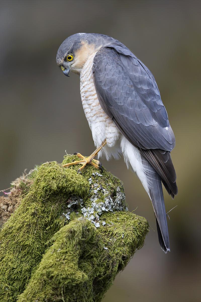 Eurasian Sparrowhawk by Steve Ward.jpg