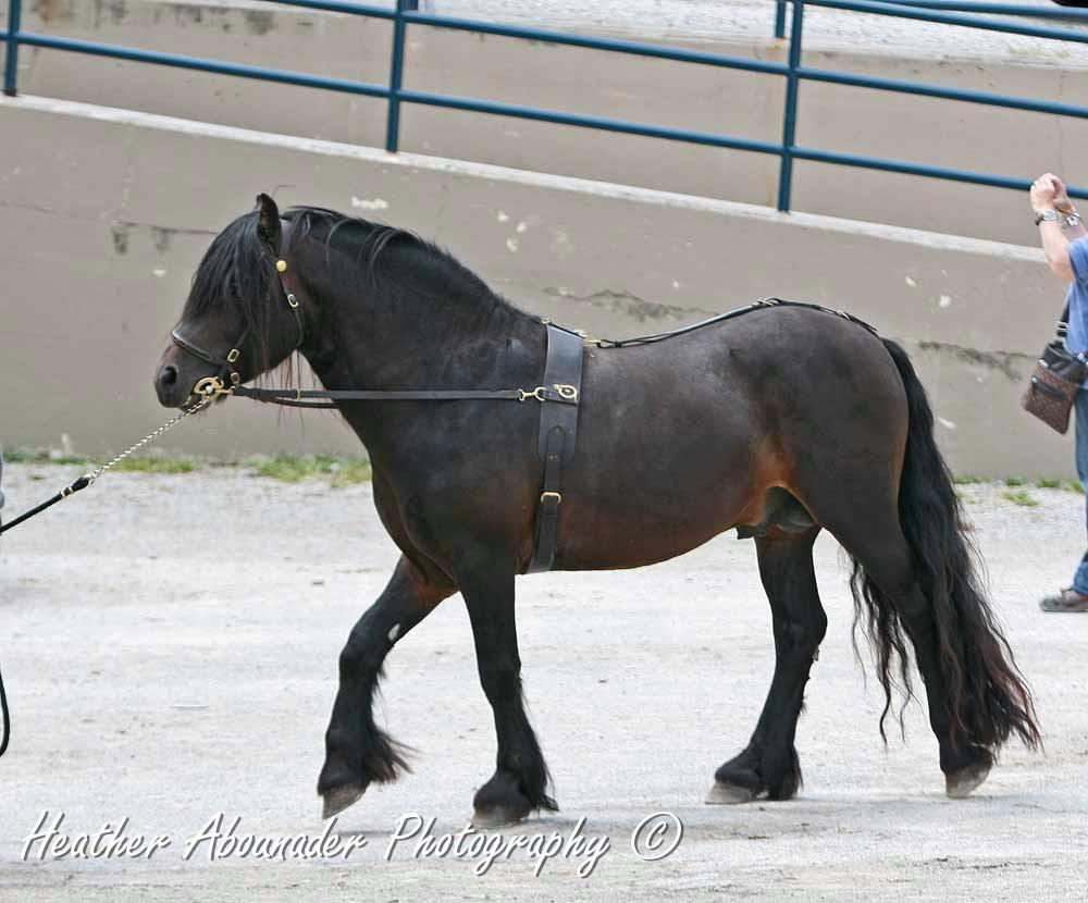 Fell Pony Wikipedia