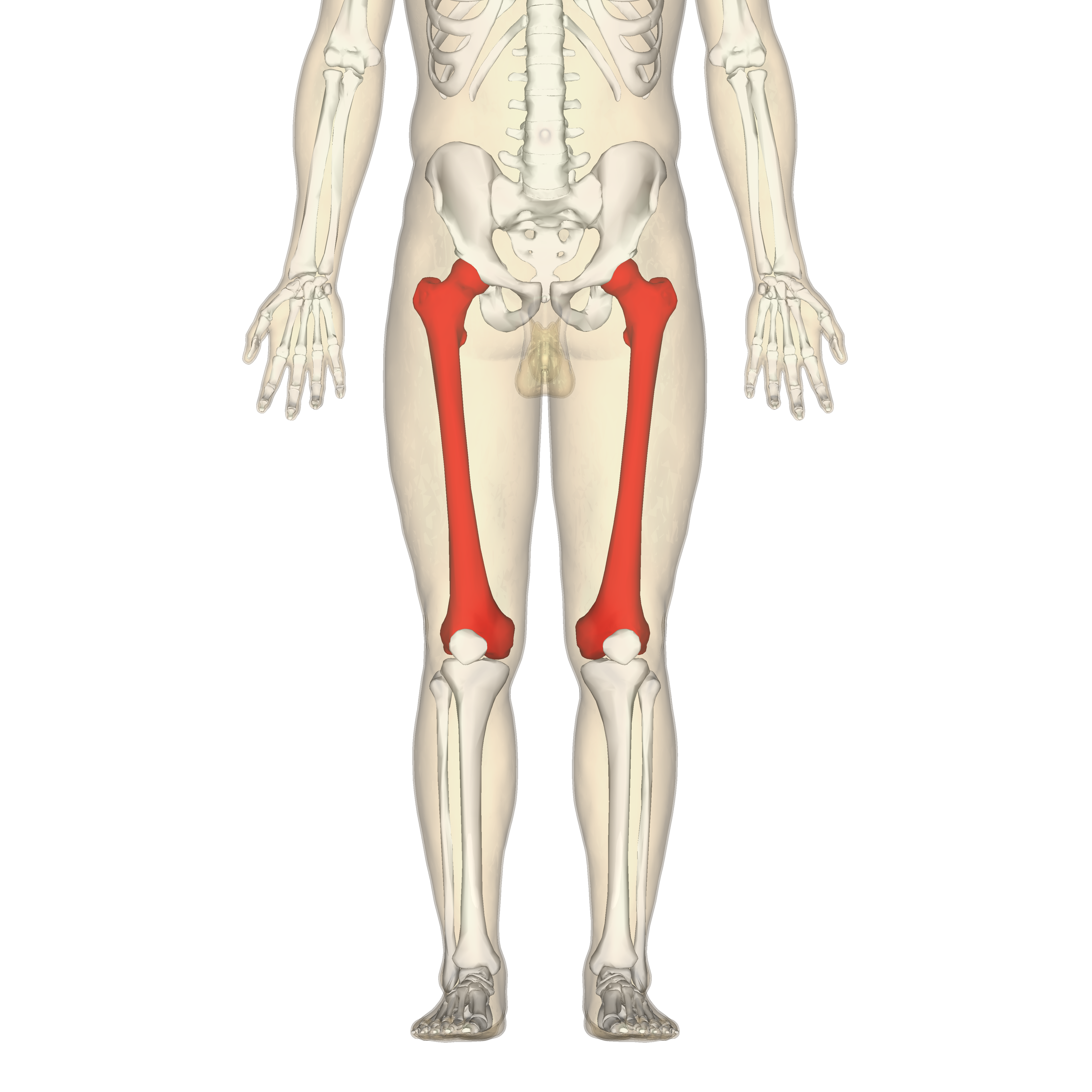 Human Femur Position of femur (shown in