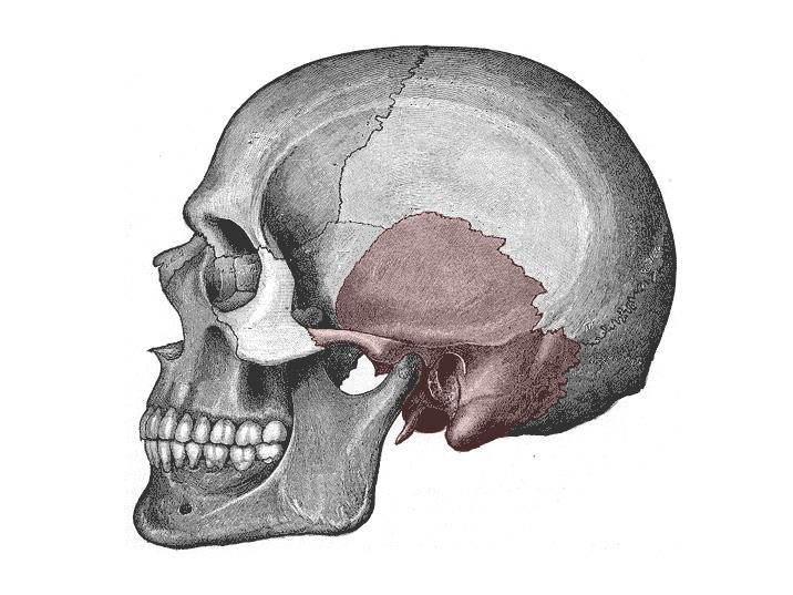 Schläfenbein – Wikipedia