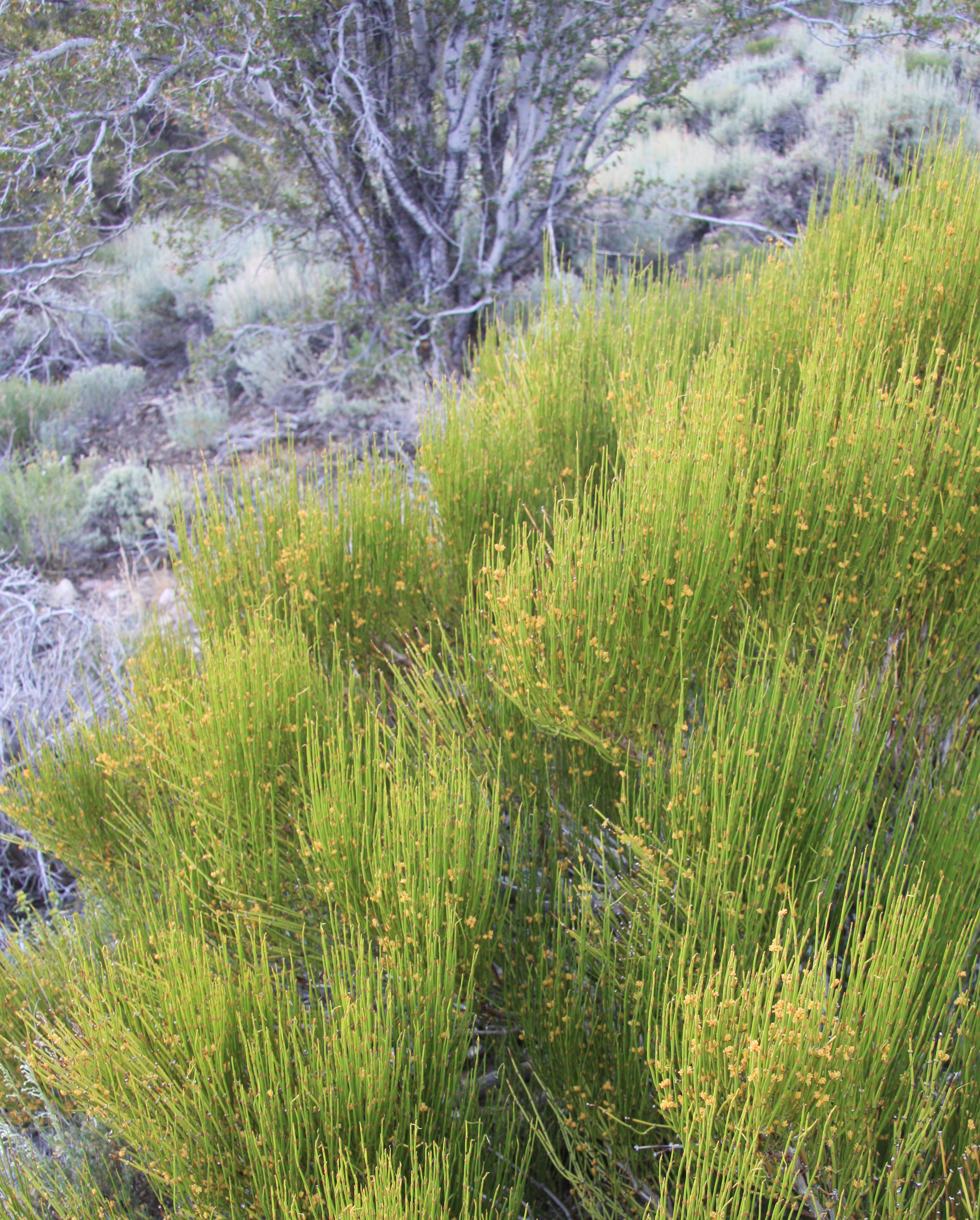 File:Green ephedra Ephedra viridis bush jpg - Wikimedia Commons