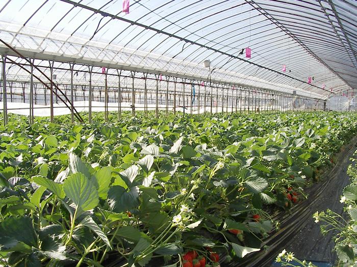 Växthus med jordgubbsodling.