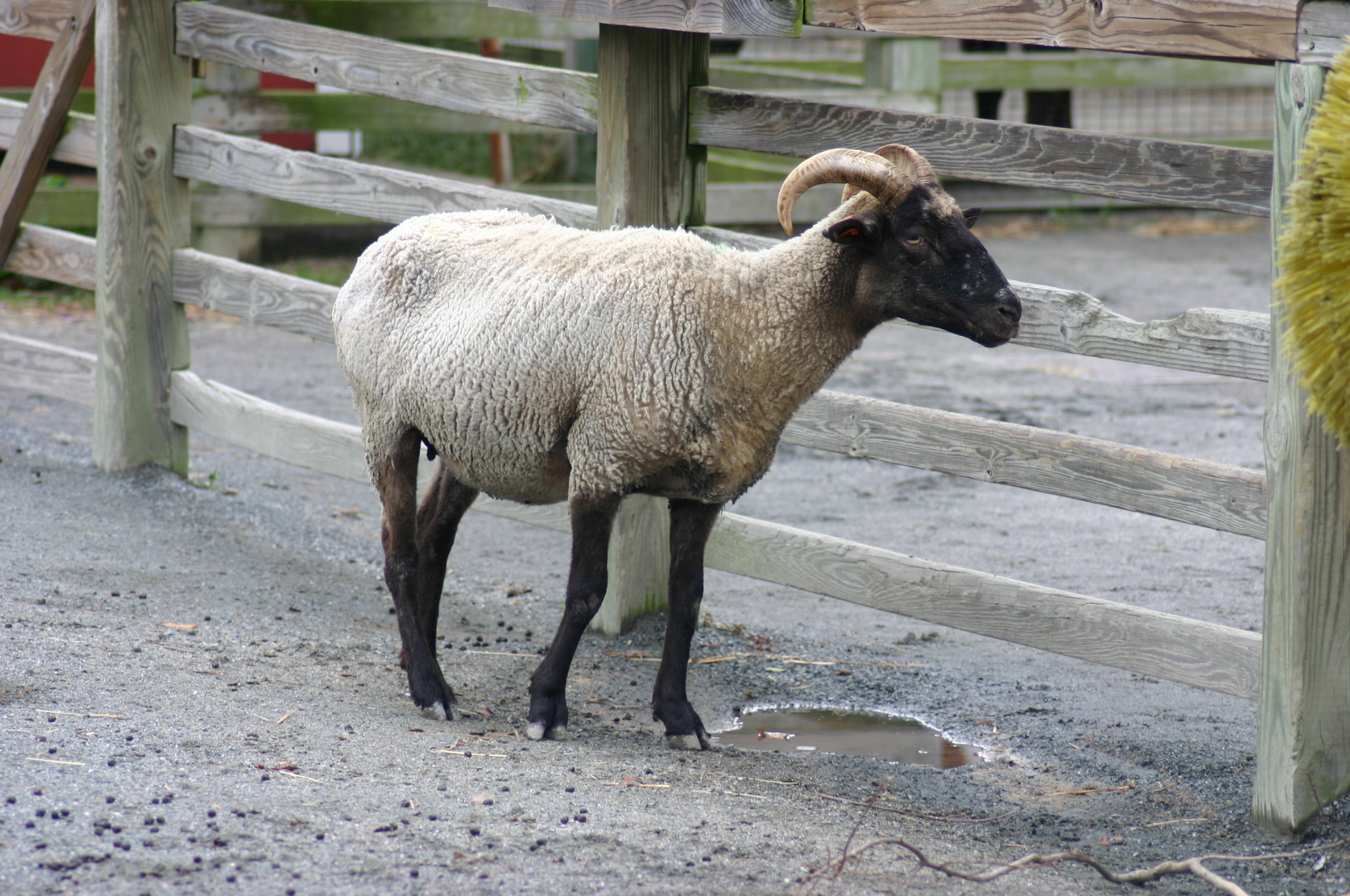 file hog island sheep at norfolk zoo jpg wikimedia commons
