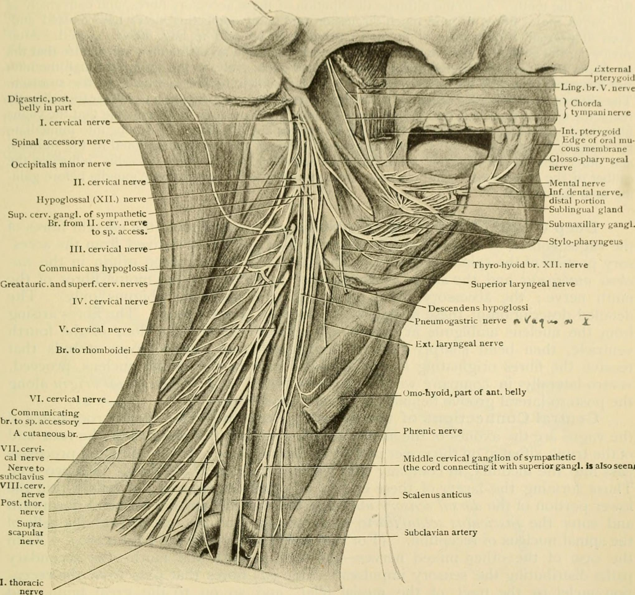 Filehuman Anatomy Including Structure And Development And
