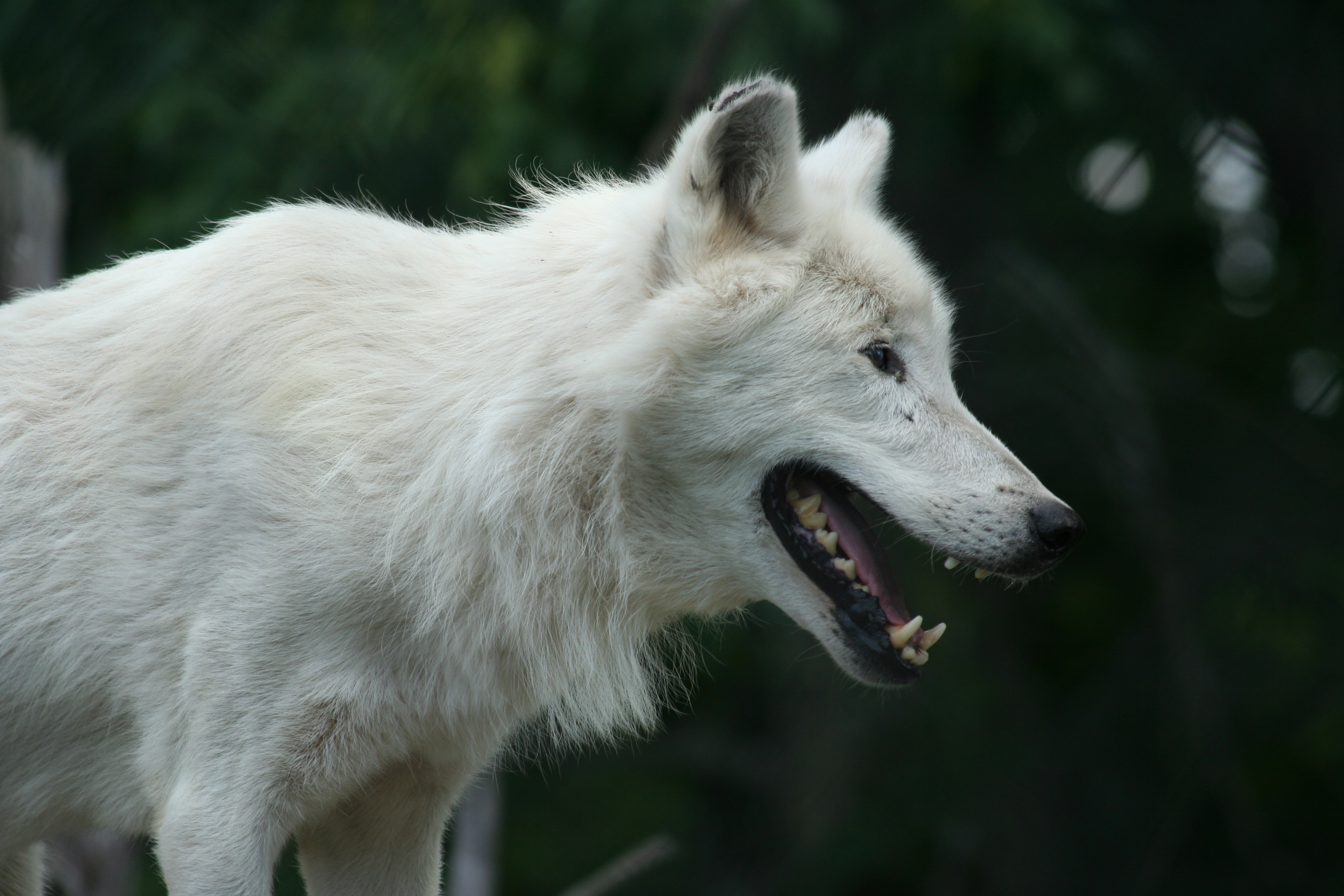 Wolf Dog Pups For Sale Uk