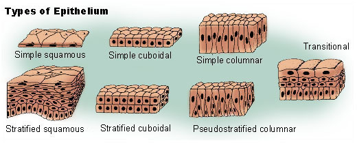 Simple Squamous Epithelium Diagram