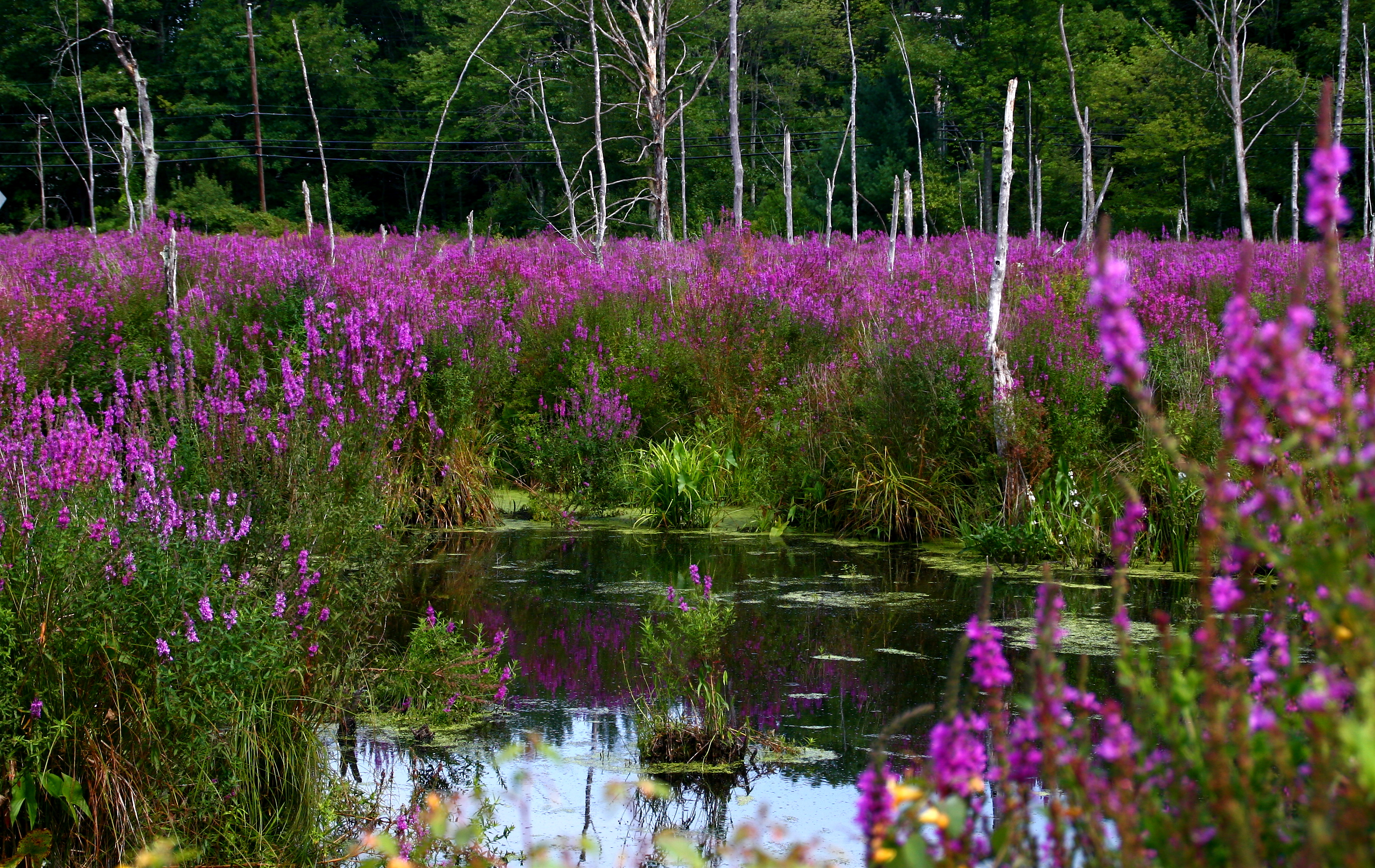 a study on purple loosestrife Spp, purple loosestrife for the first time since 2000, purple loosestrife inflorescences were recorded in the study quadrats (three of five of them.