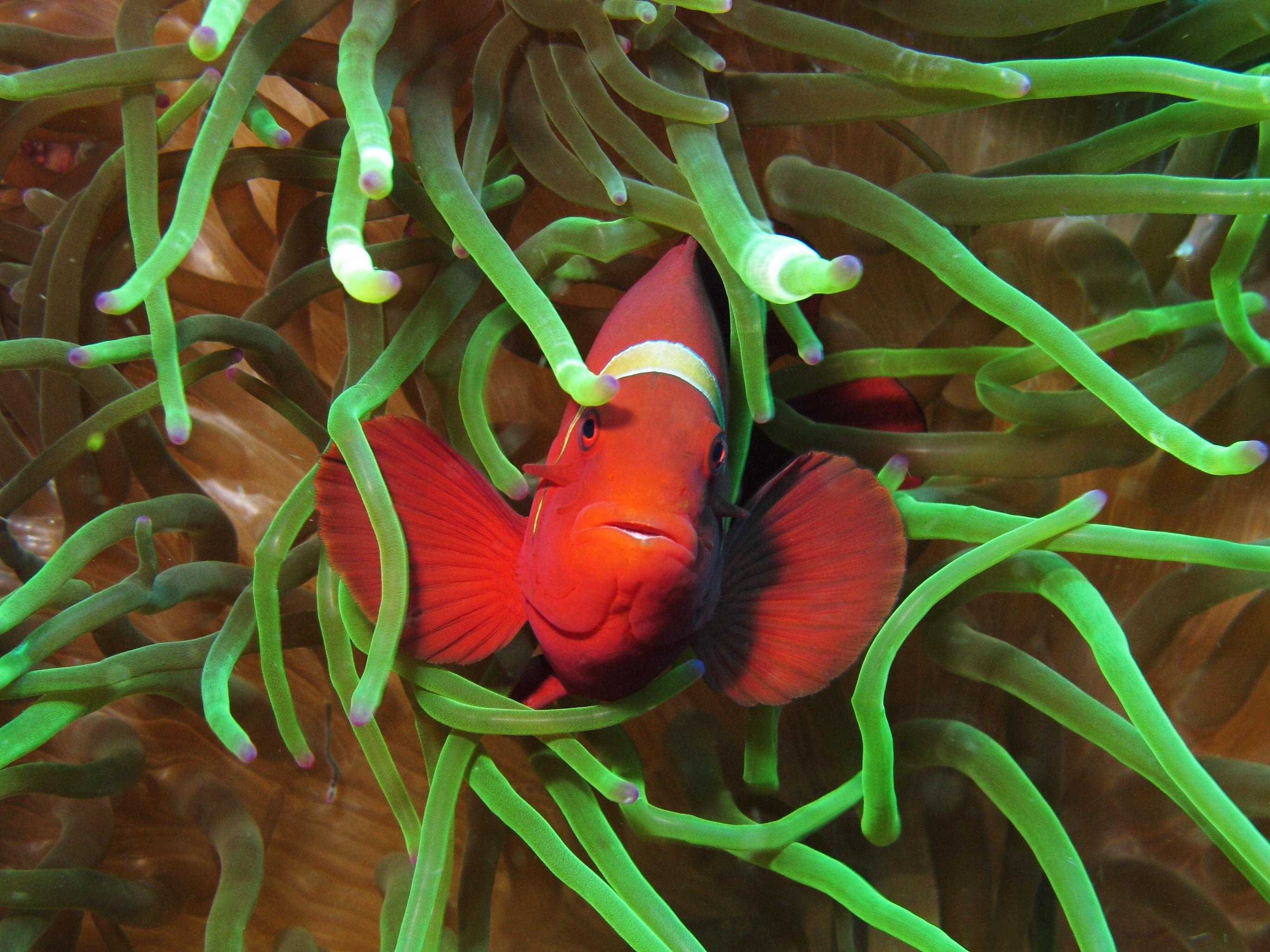 File:Maroon clownfish at Gilli Lawa Laut.JPG - Wikimedia Commons