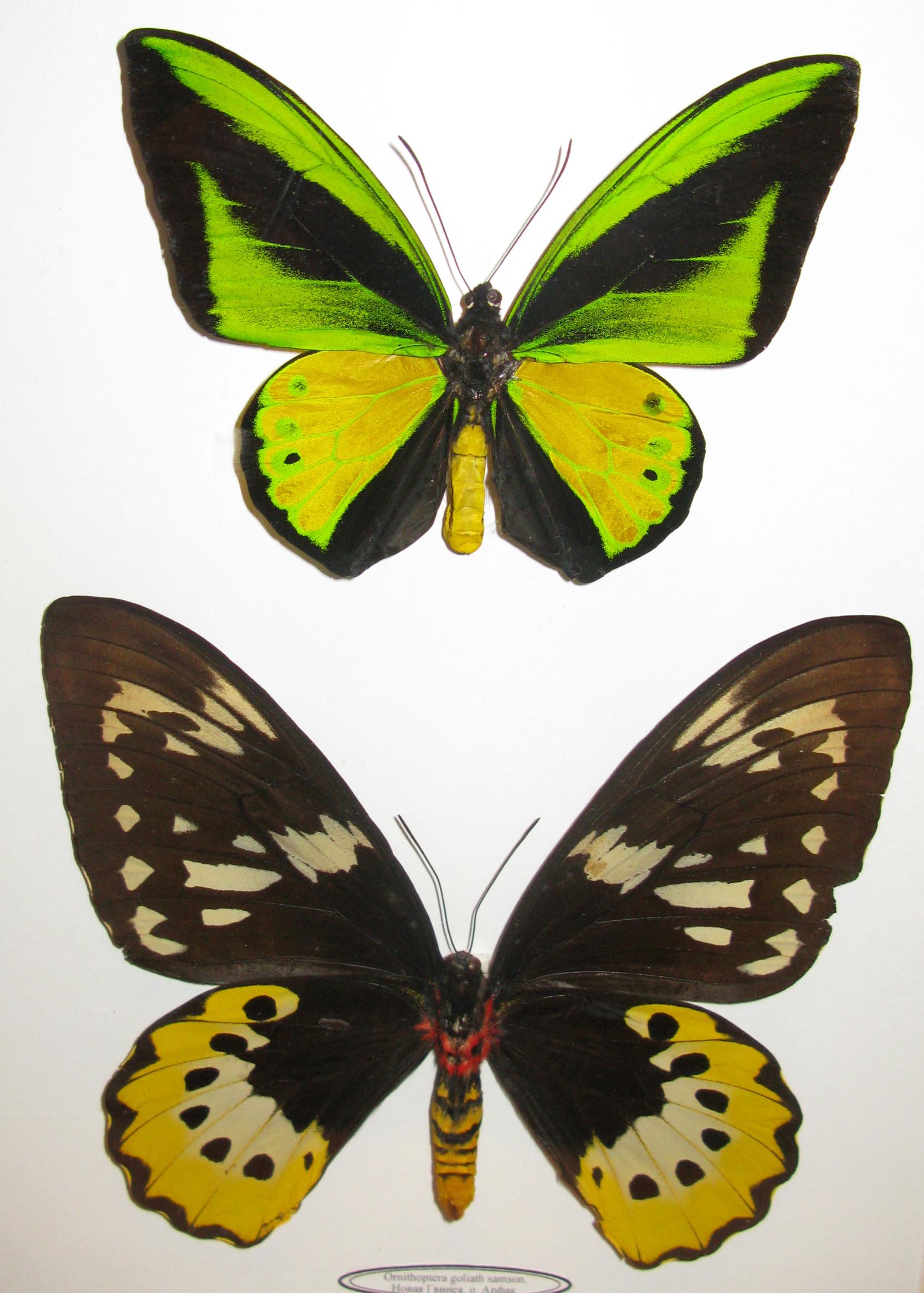 Ornithoptera goliath samson 10 pair *Indonesia*