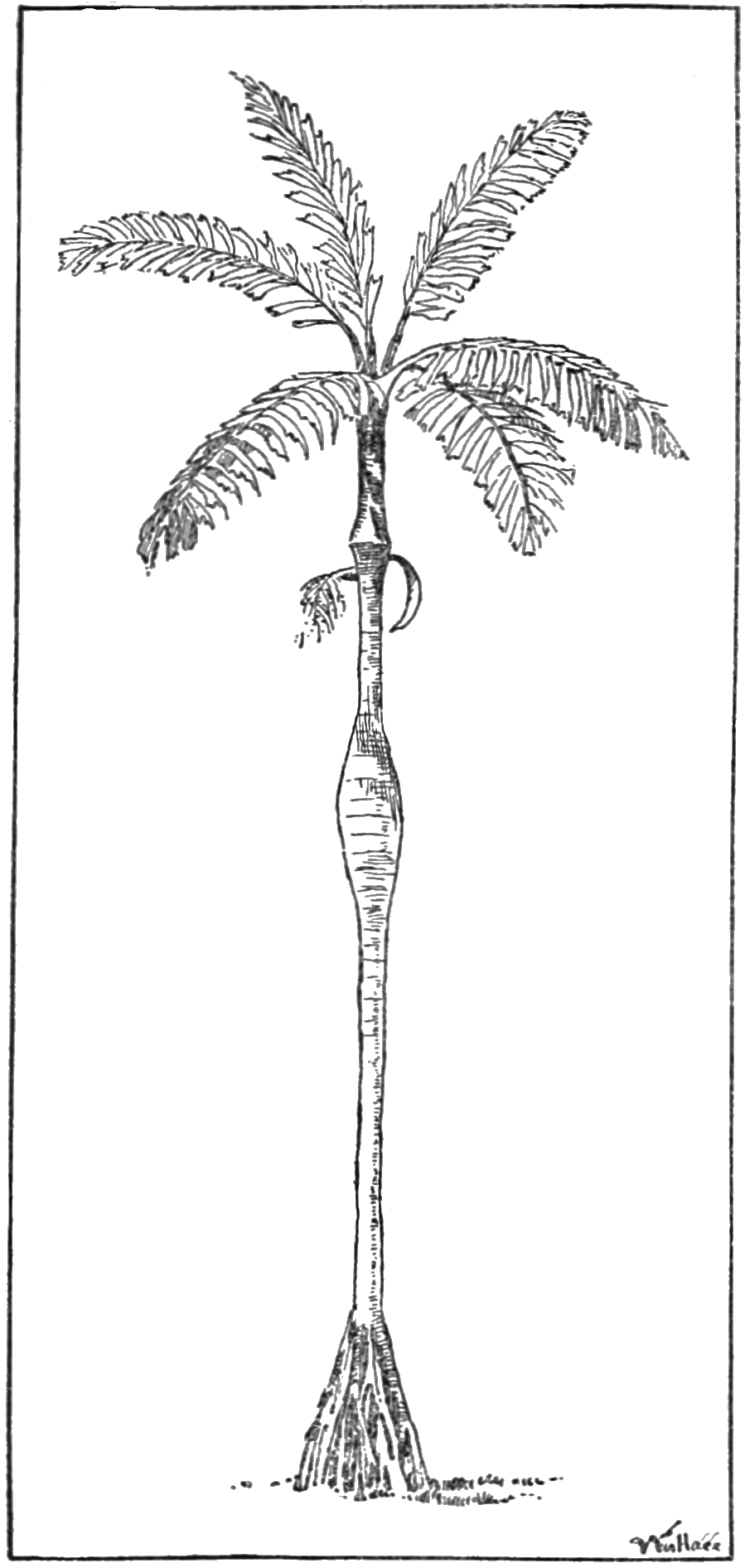 PSM V60 D398 Iriartea ventricosa a bellied palm.png