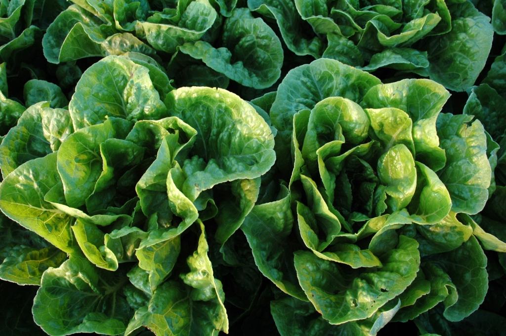 Lettuce wiki