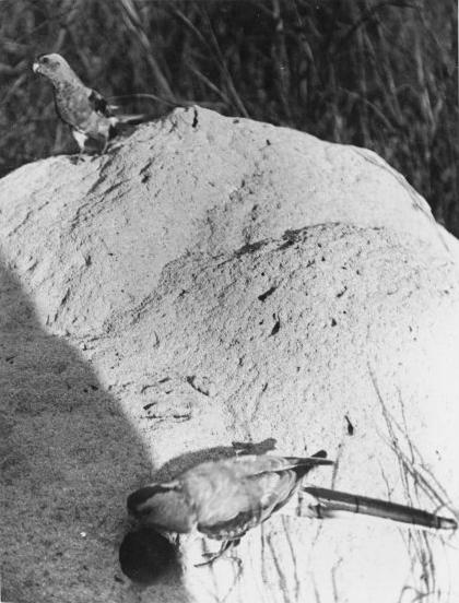 Вымершие и уничтоженные виды попугаев и других птиц Psephotus_pulcherrimus_by_nest