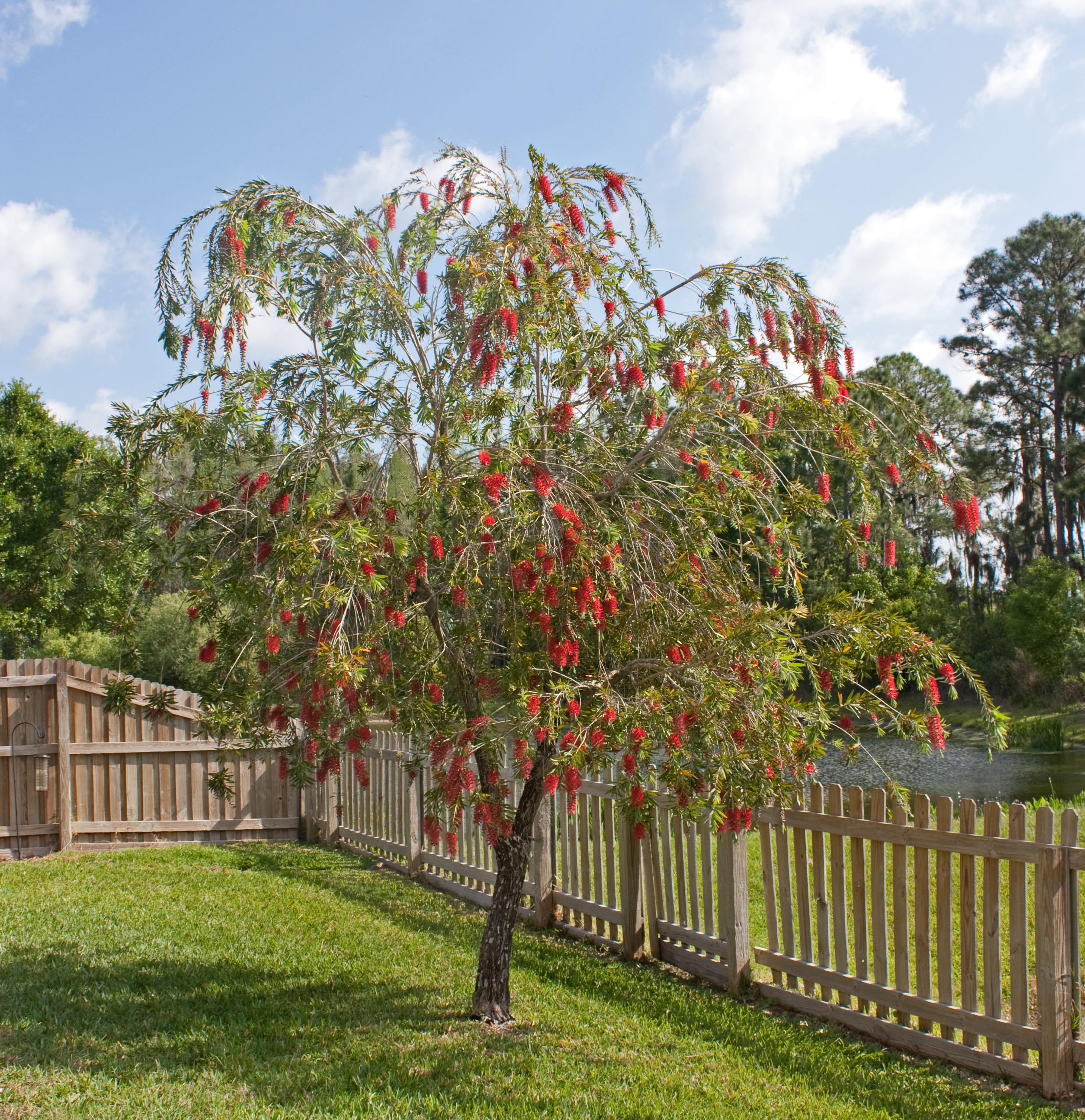 Filered Bottlebrush Tree In Florida Cropg Wikimedia Commons