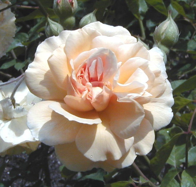 Rosa Buff Beauty Wikipedia