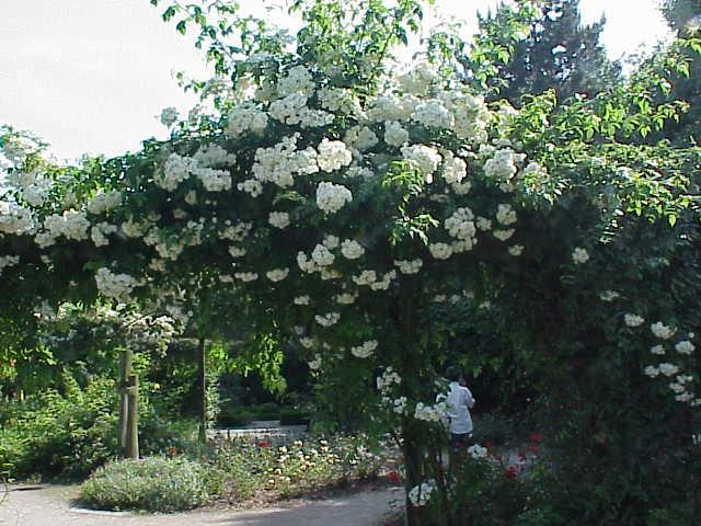 roses couleur blanches rosier grimpant bobbie james