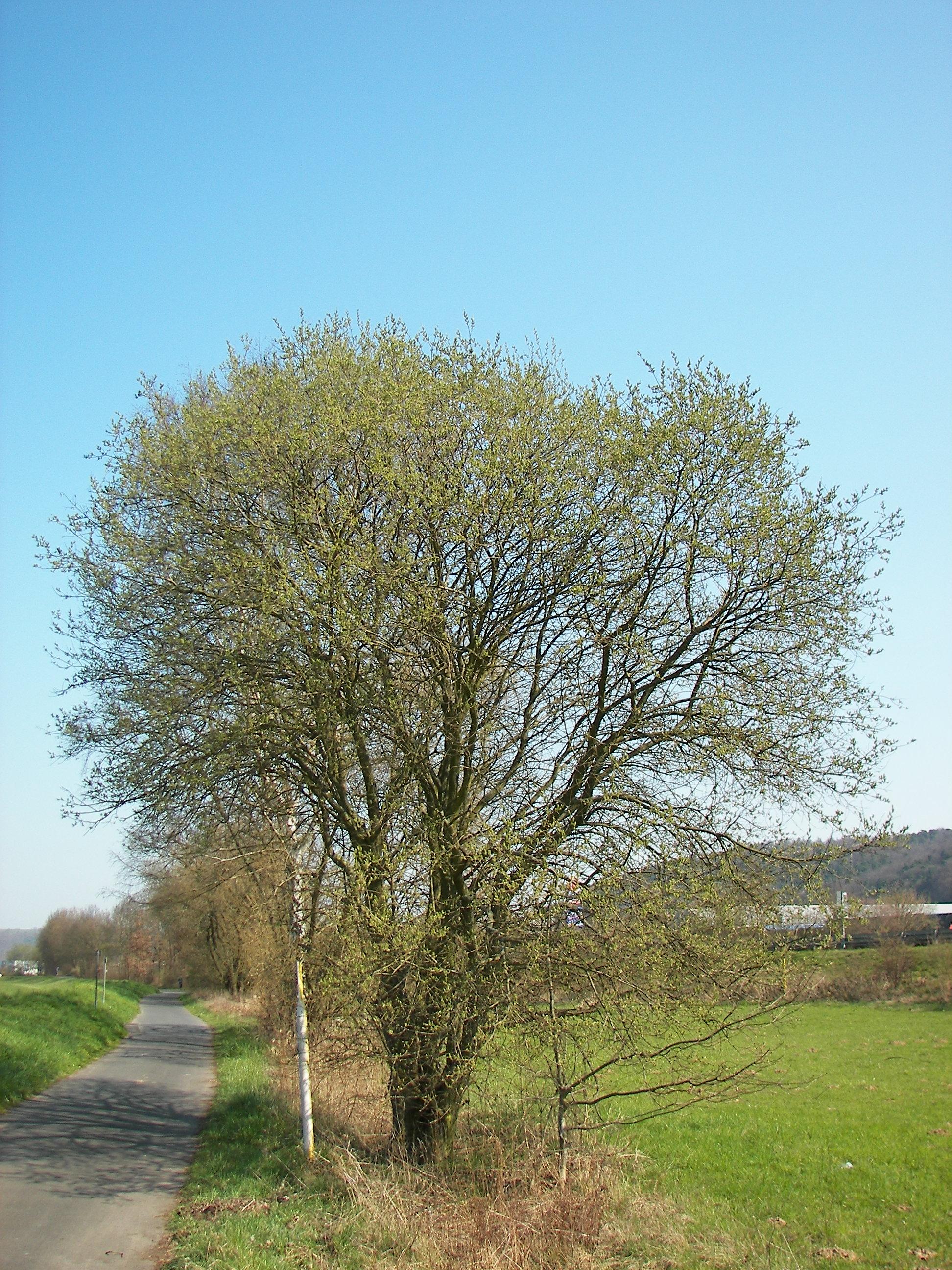 File:Salix caprea 007.jpg - Wikimedia Commons