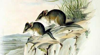 Sminthopsis crassicaudata - Gould