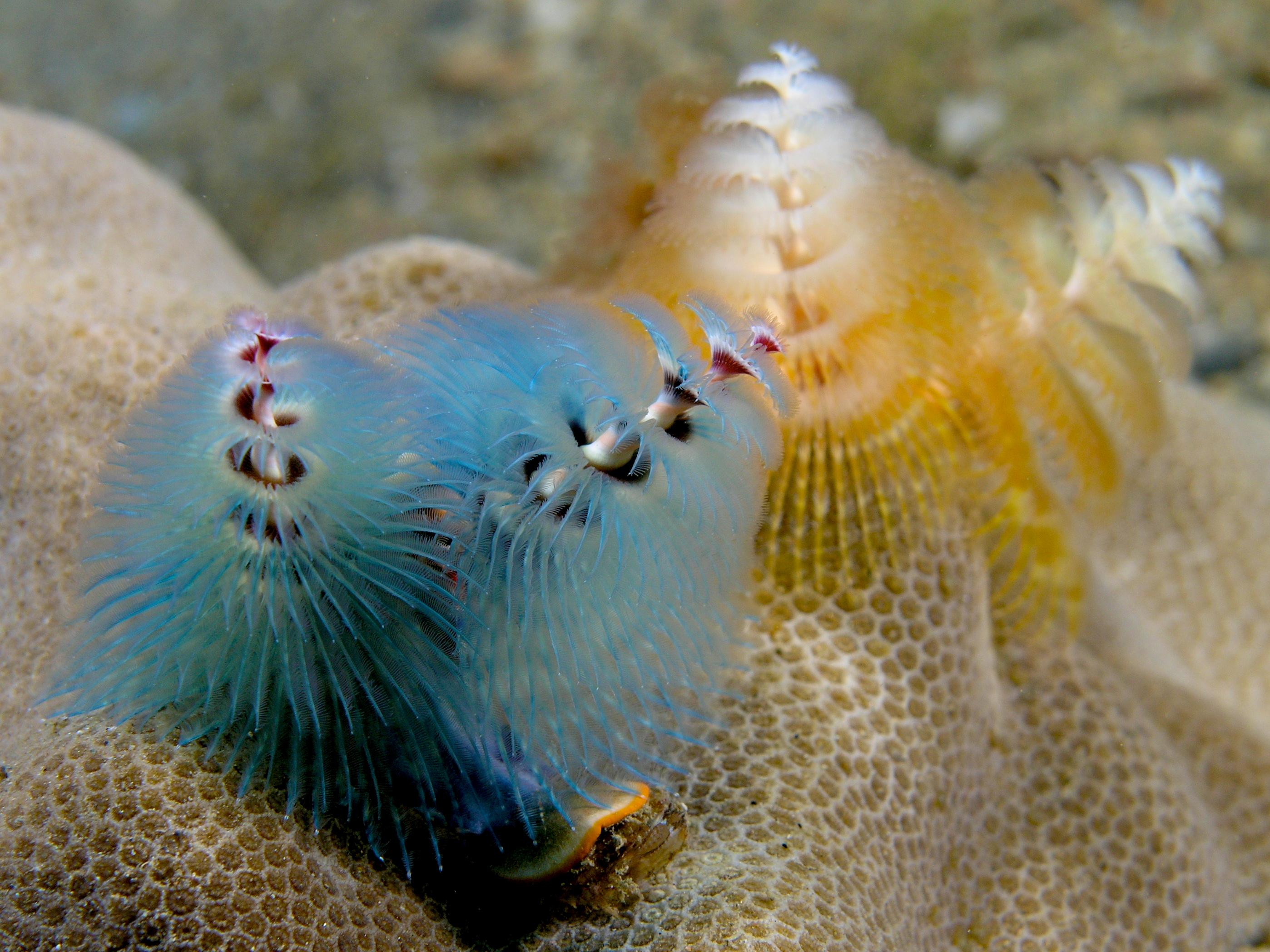 Spirobranchus Giganteus Blue And Peach