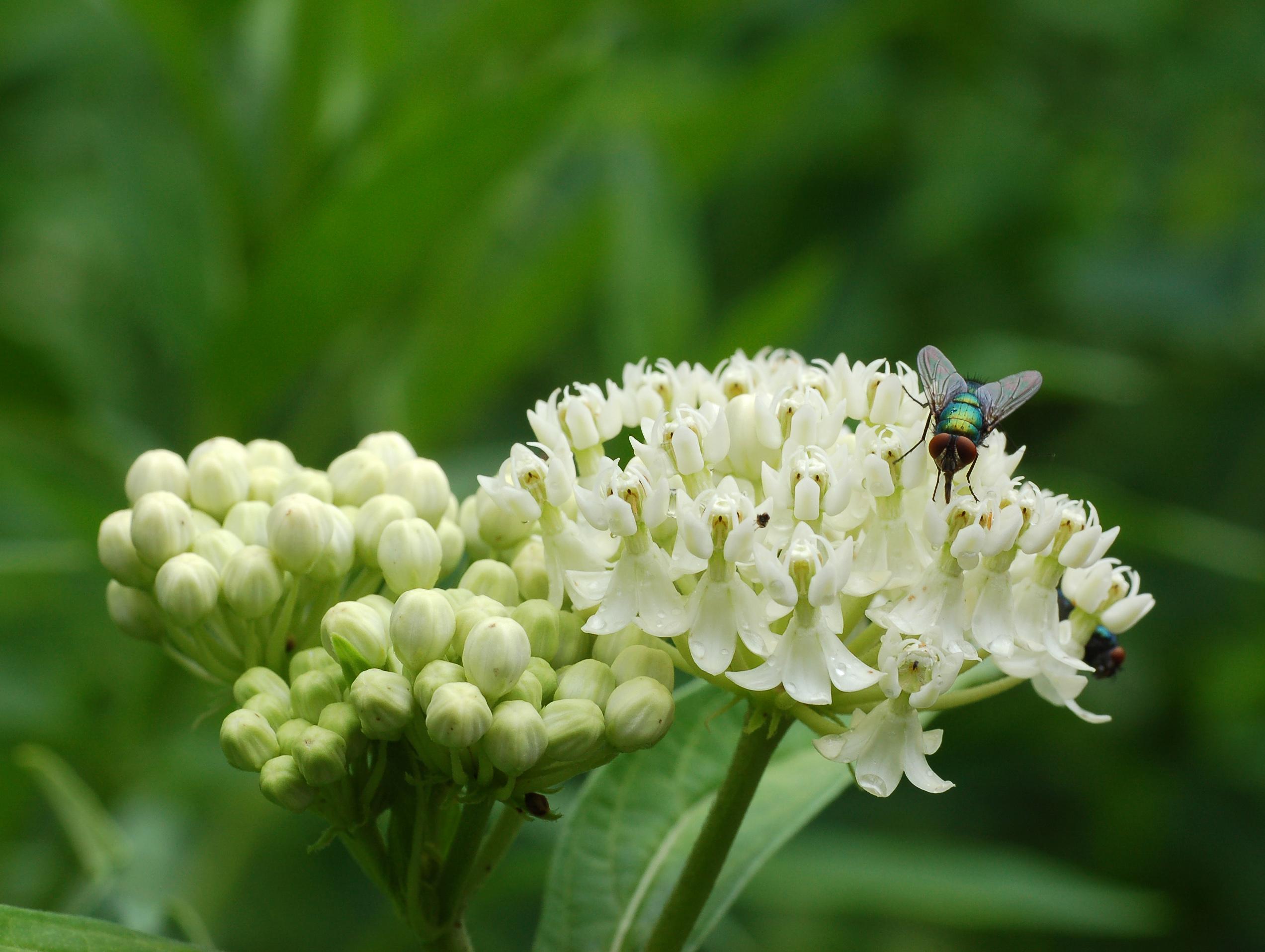 File Swamp Milkweed Asclepias Incarnata Ice Ballet Fly