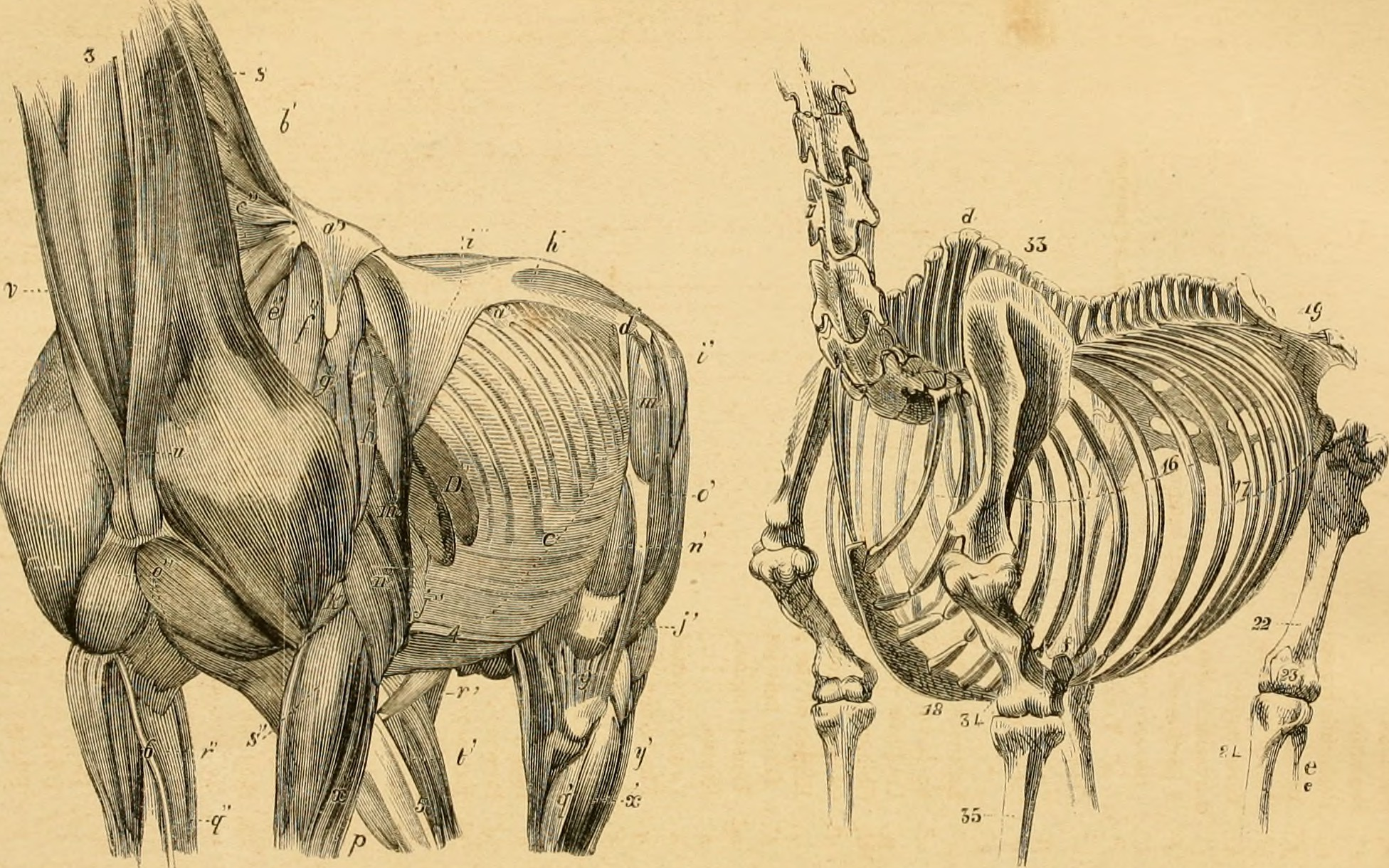 Dateithe Anatomy And Physiology Of The Horse With Anatomical And