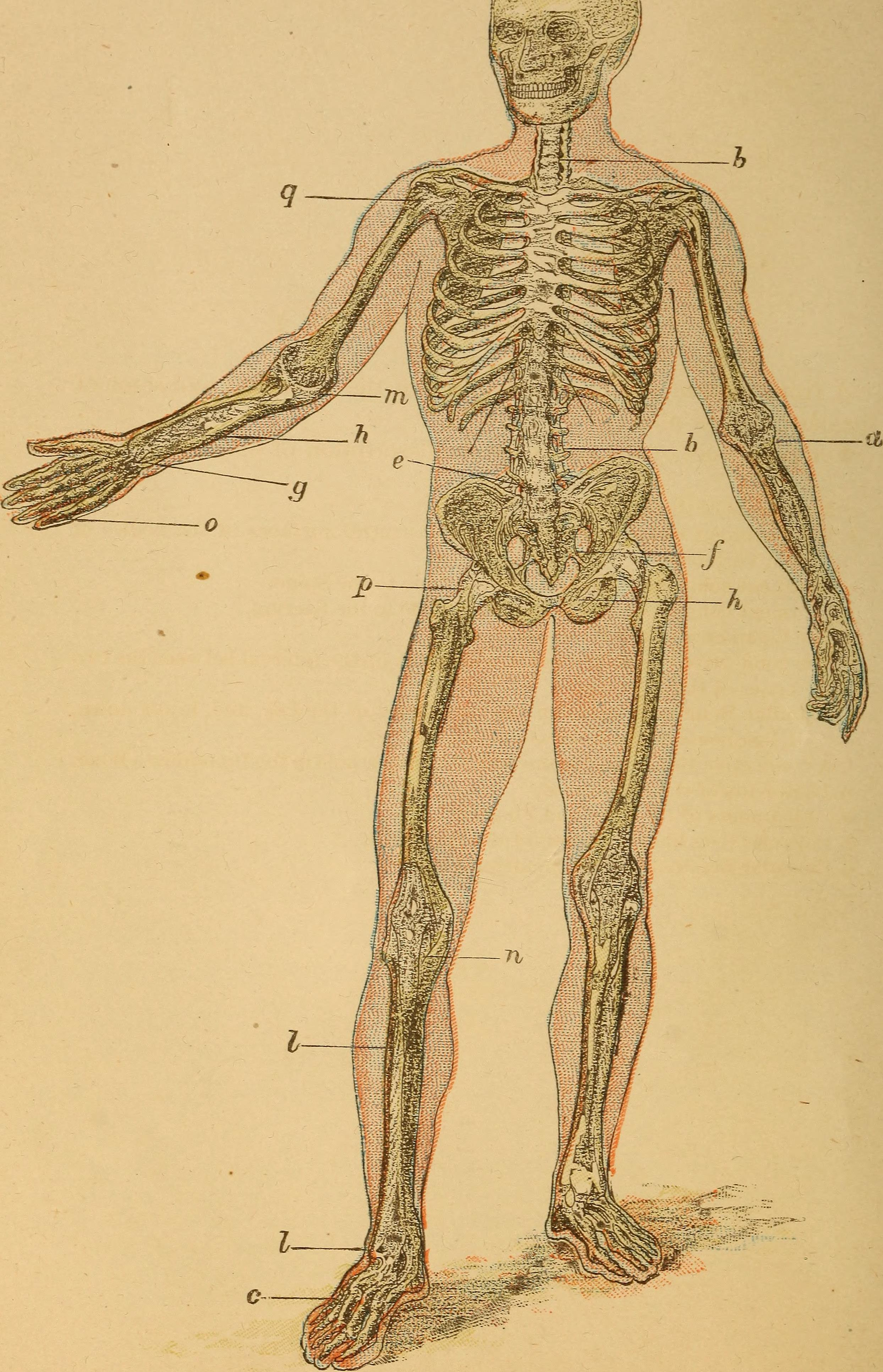 File:The human body. A beginner\'s text-book of anatomy, physiology ...