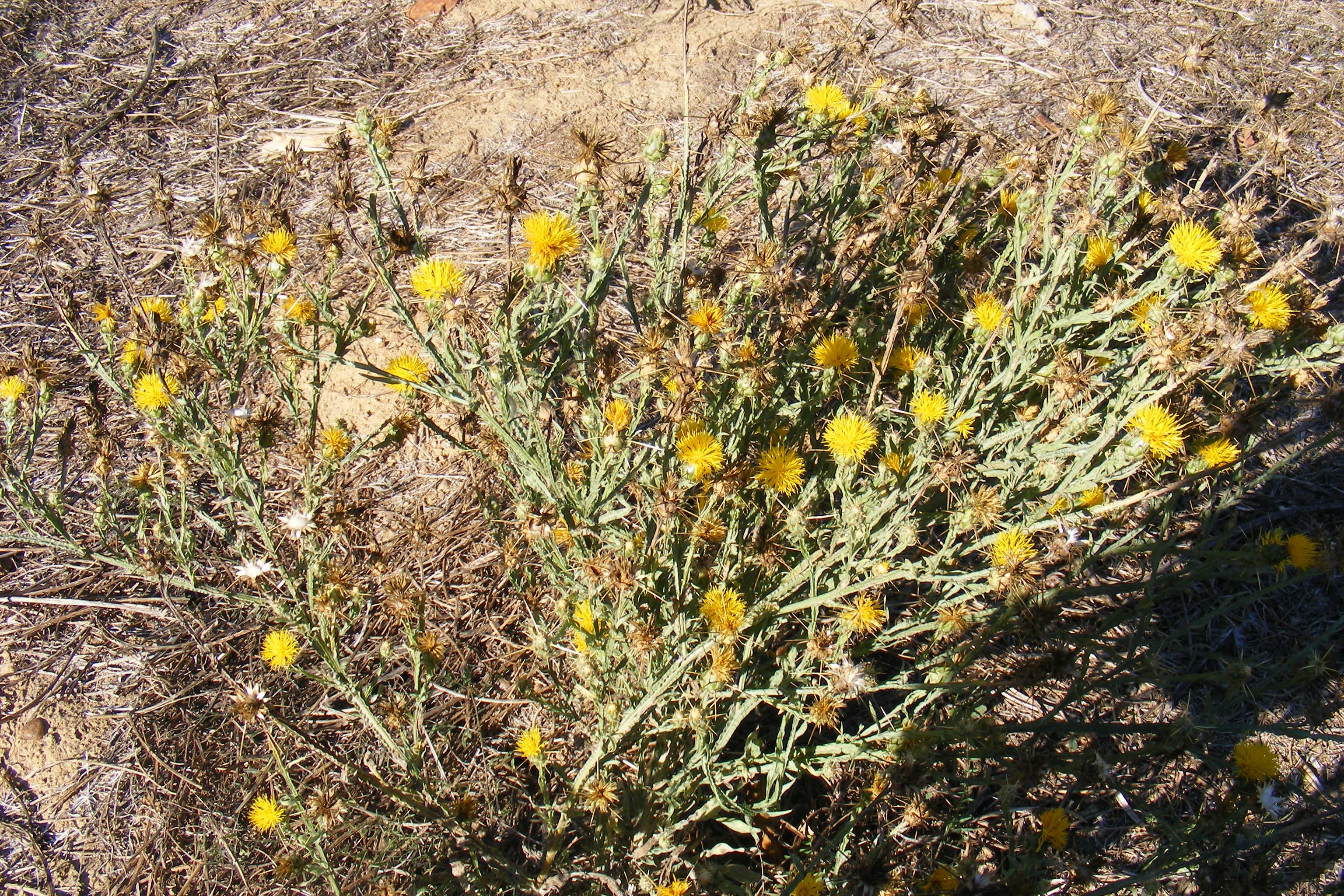 Horsedvm Toxic Plants For Horses Yellow Star Thistle