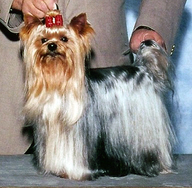 Fileyorkshire Terrier Wa Mozart Dolce Sinfoniajpg Wikimedia Commons