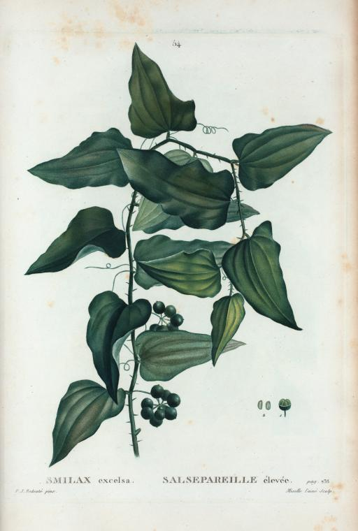 smilax online dating File:smilax aspera-salse pareille-fruits-20130903jpg from wikimedia  commons  file history click on a date/time to view the file as it appeared at that  time.