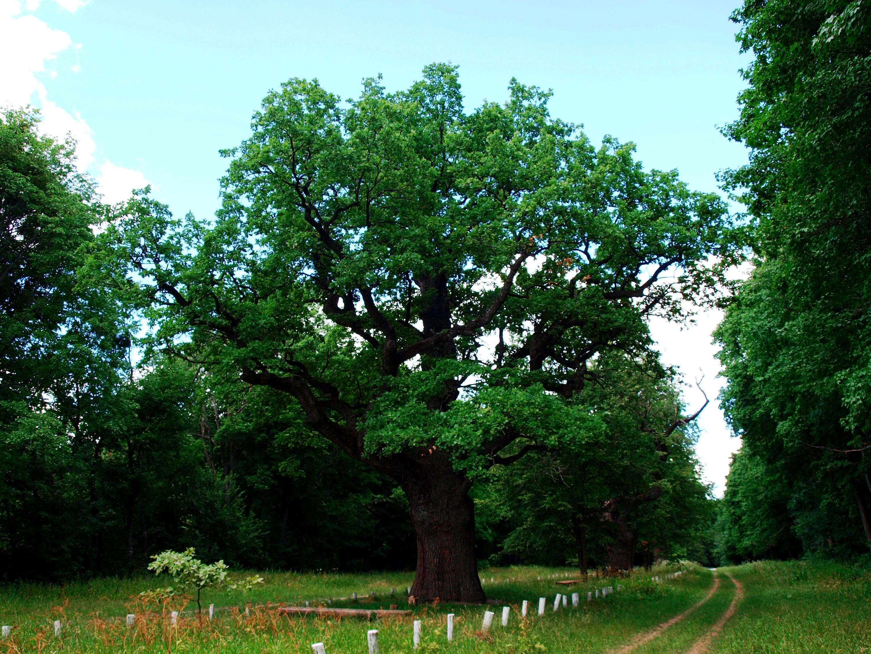800-year old oak in Dykanka.JPG
