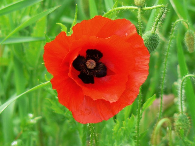 A poppy flower in June, near Savernake - geograph.org.uk - 638667