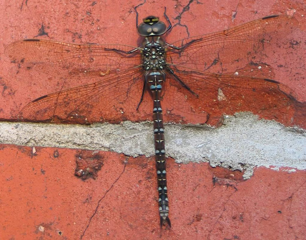 dragonfly � wiktionary