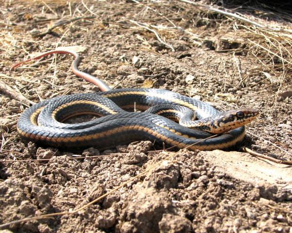Endangered Species that Hurt Land Values - alameda whipsnake