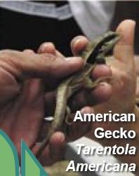 American Gecko in Cuba -- Tarentola Americana.jpg