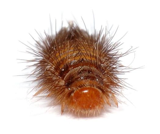 Carpet beetles life cycle - photo#26
