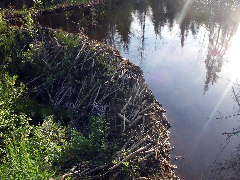 Beaver dam pictures