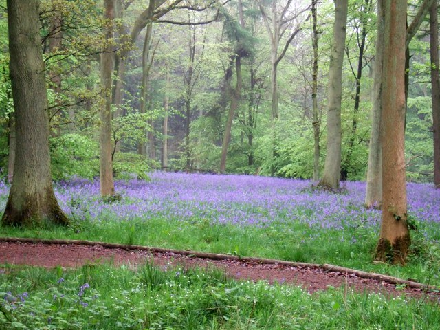 Bluebells in Wendover Woods - geograph.org.uk - 170037