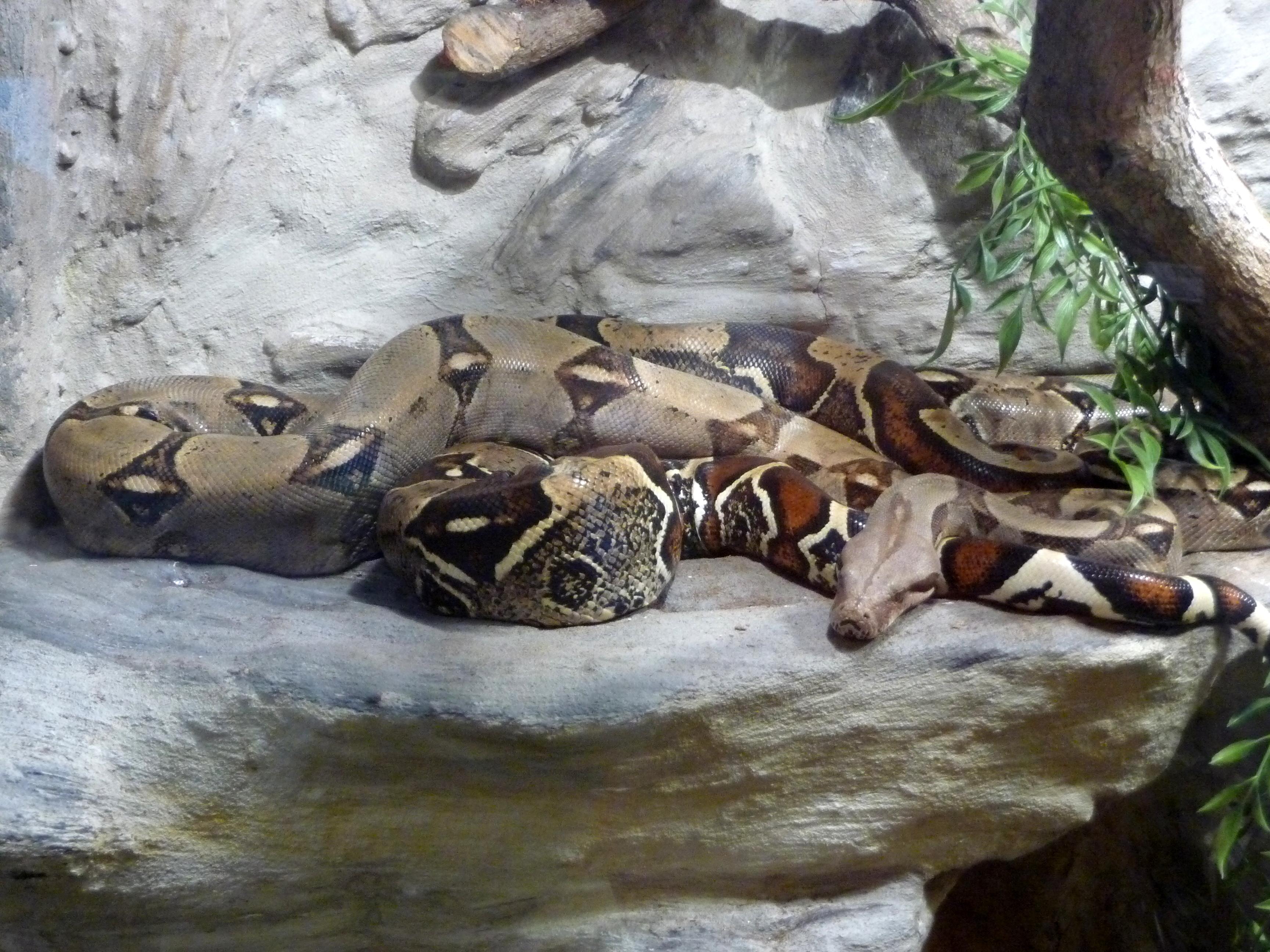 Angel boris in boa vs python 4