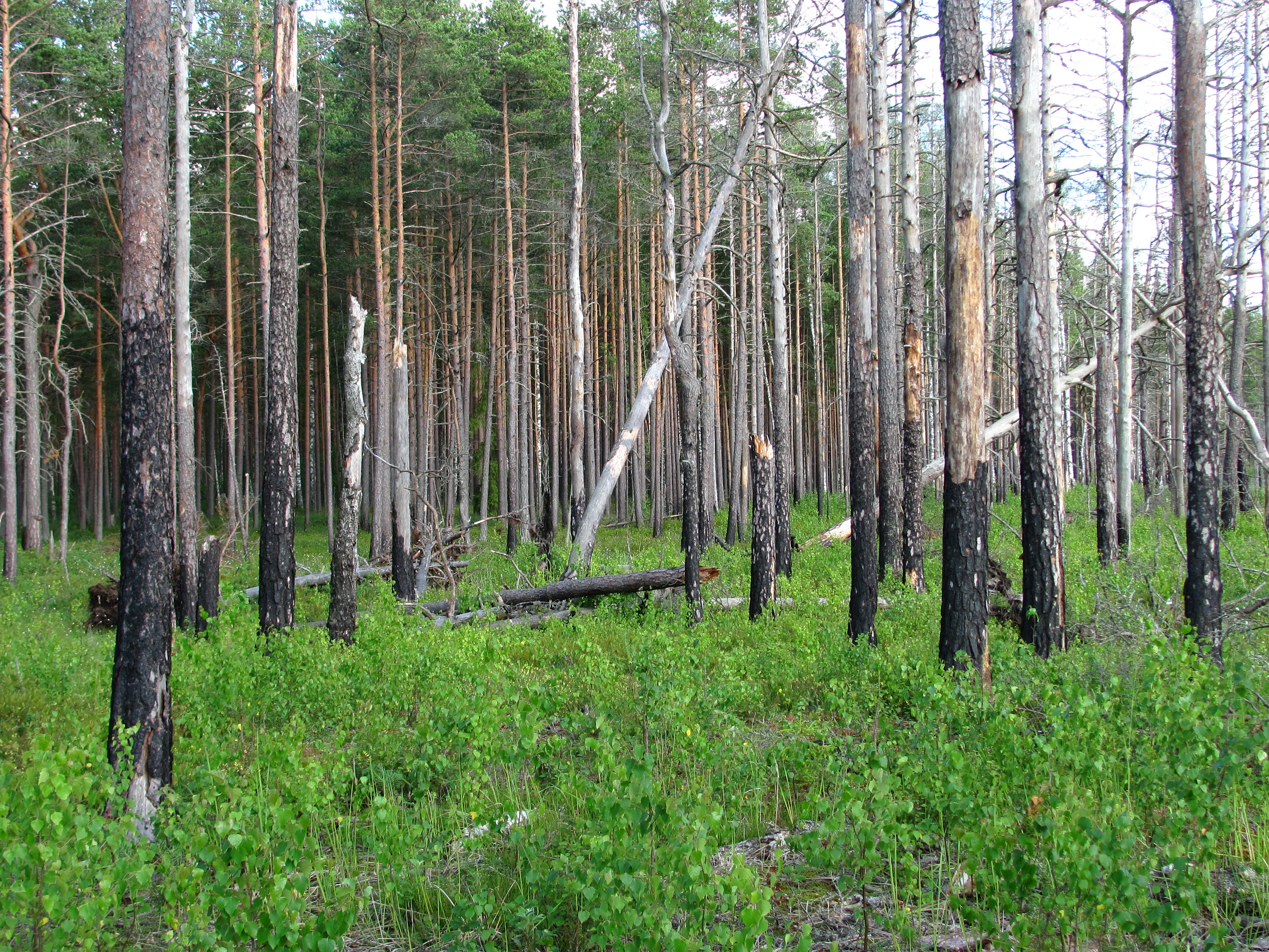 File:Boreal pine forest 6 years after fire, 2012-07.jpg ...