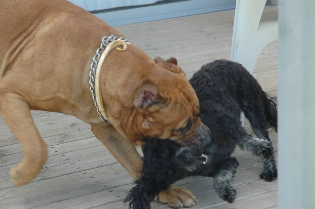 Descrizione Bullmastiff playing with poodle.jpg