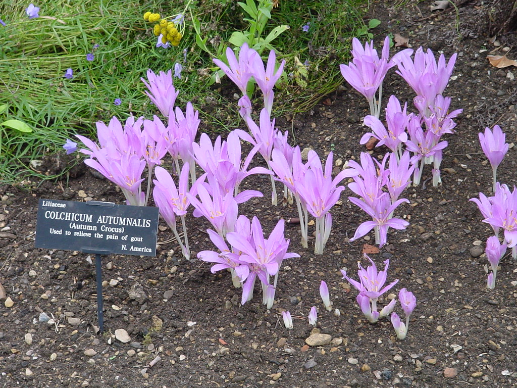 https://upload.wikimedia.org/wikipedia/commons/9/90/Colchicum_Autumnale_Oxford.jpg?uselang=ru