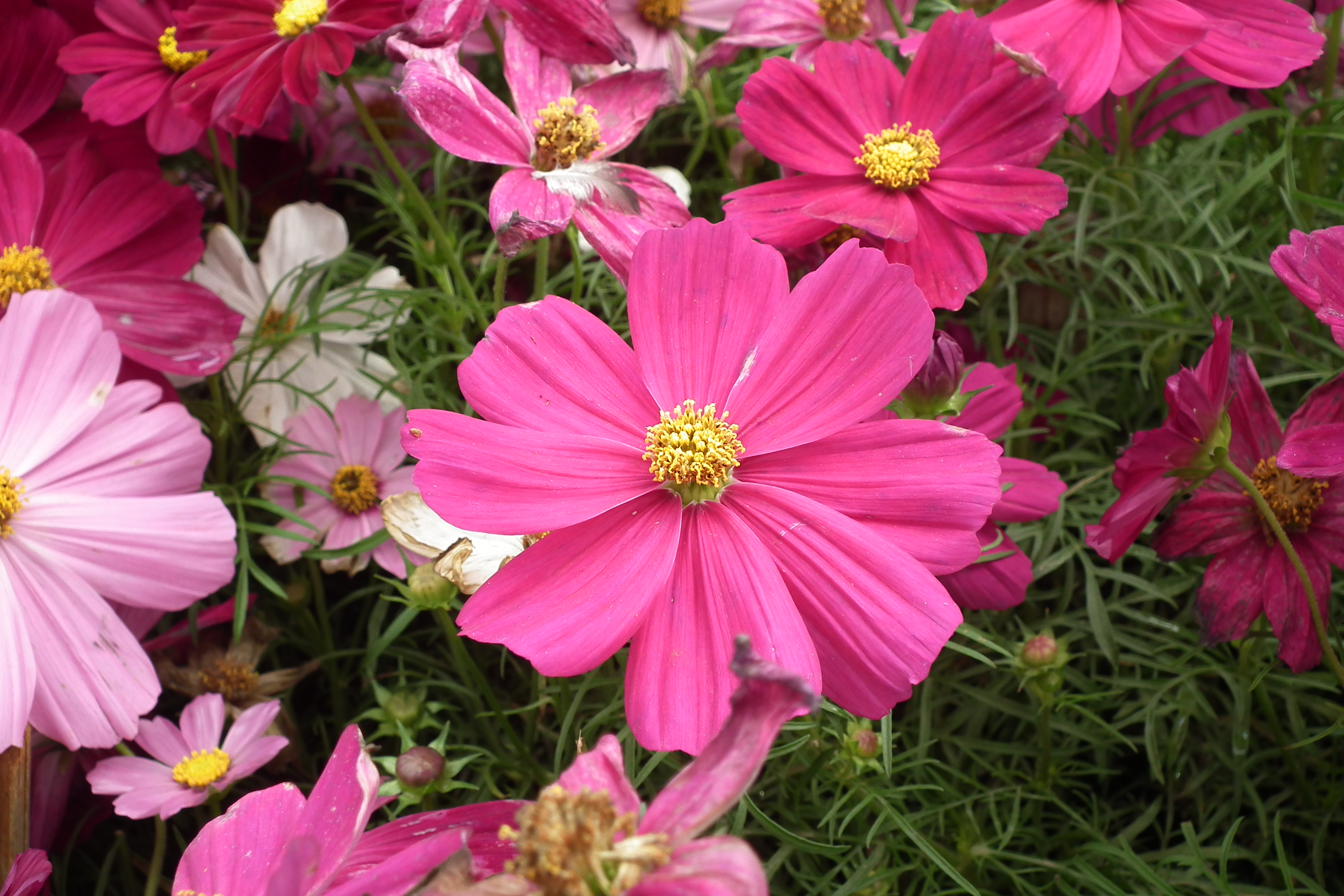 File Cosmos flower at lalbagh 7073 JPG Wikimedia mons