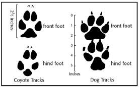 Coyote tracks compared to that of the Domestic dog's tracks. Coyote Tracks.jpg