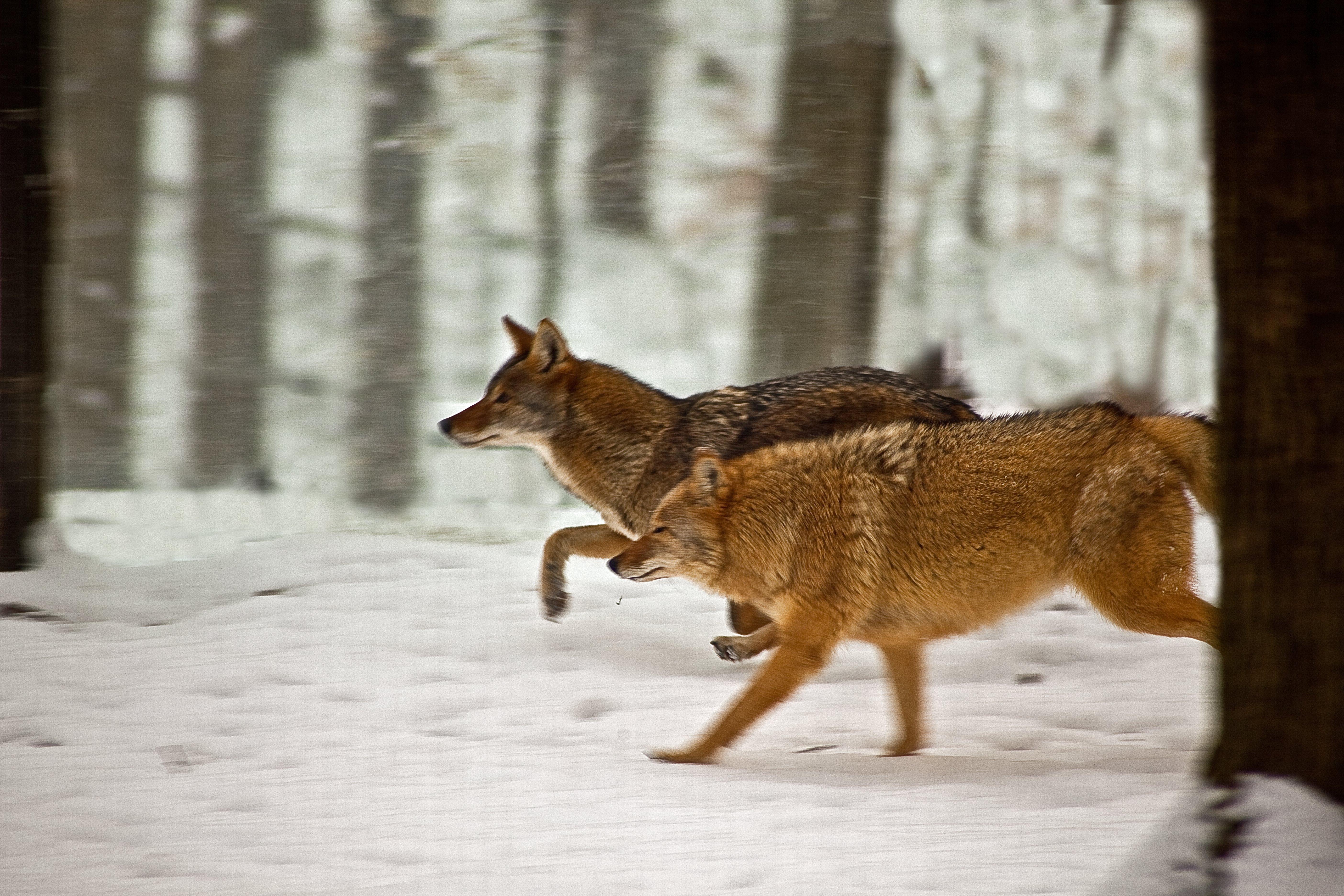 File:Coyotes-running-snow - West Virginia - ForestWander.jpg  File:Coyotes-ru...