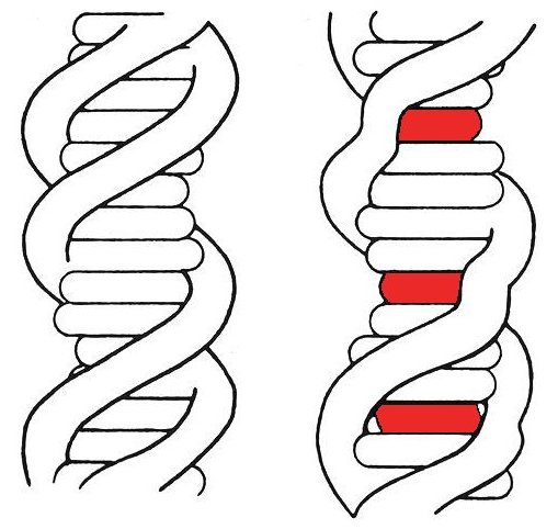 File:DNA intercalation.jpeg