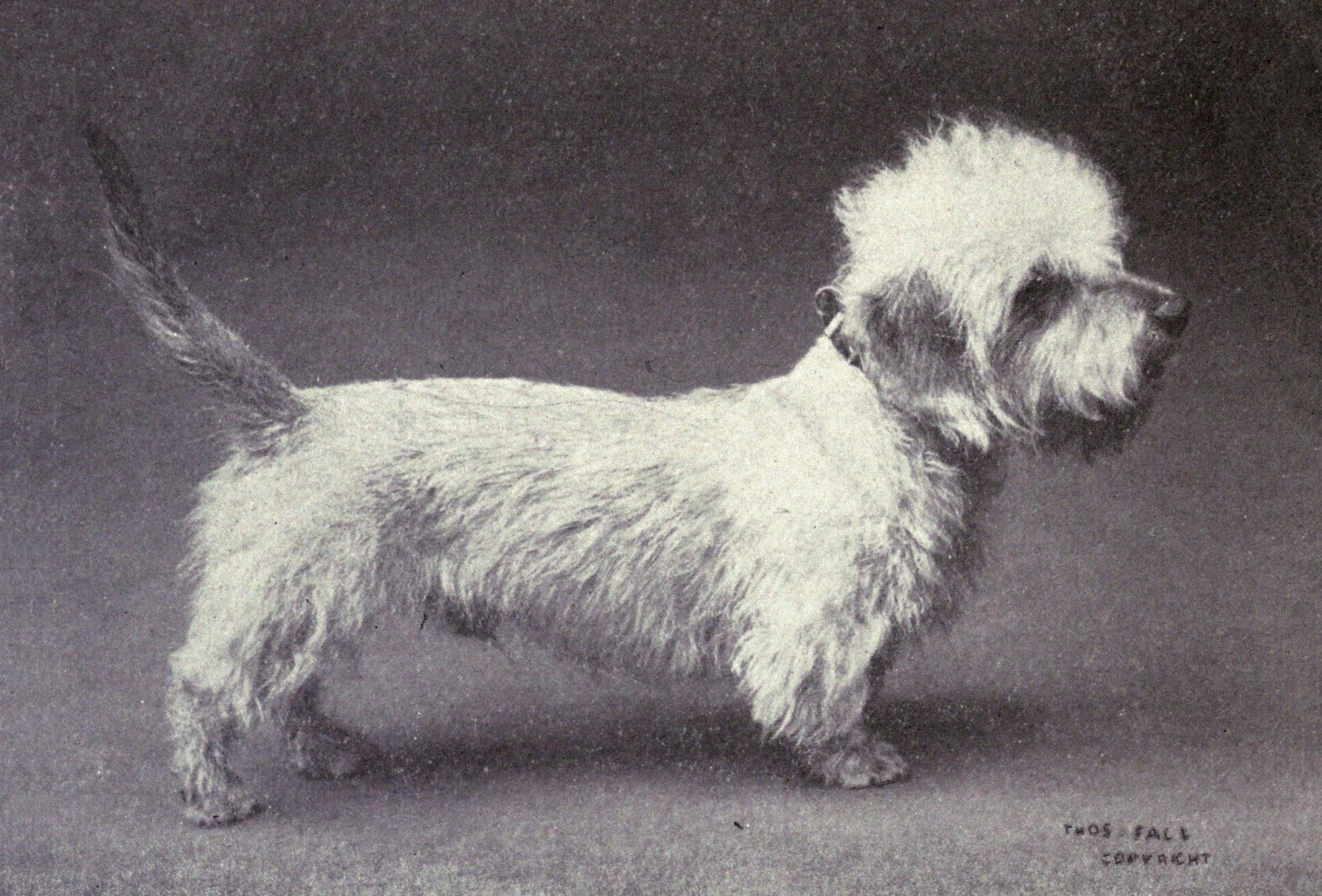 old photo of Dandie Dinmont Terrier dog