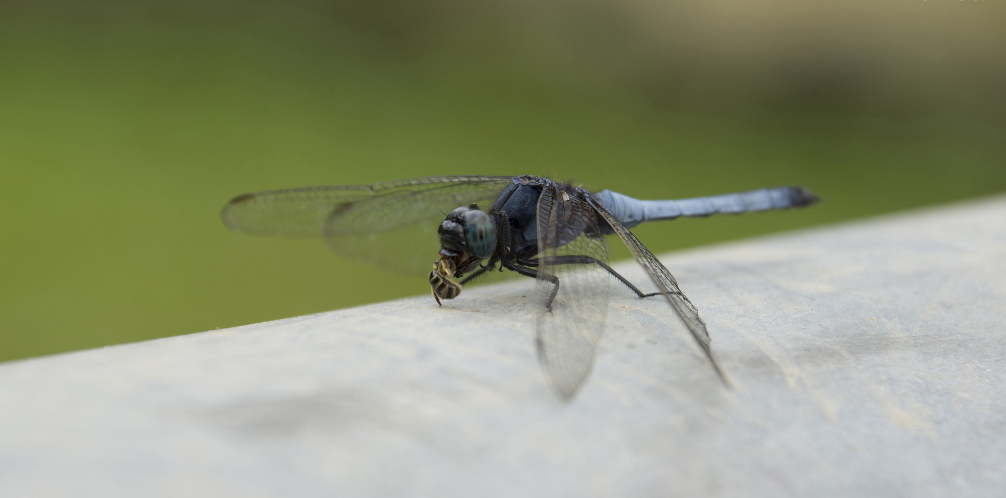 wiki dragonfly upcscavenger