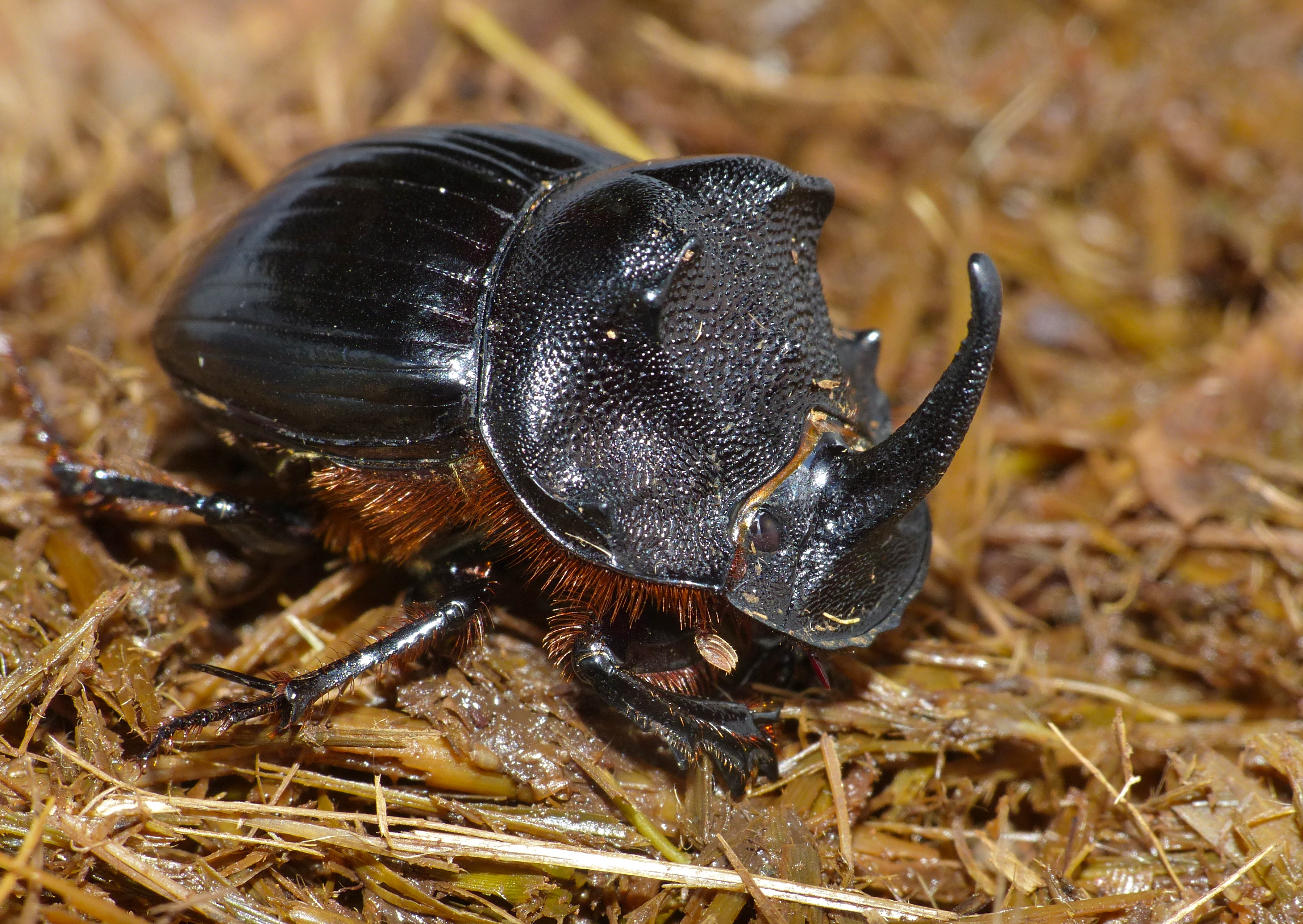 Giant Dung Beetle Facts