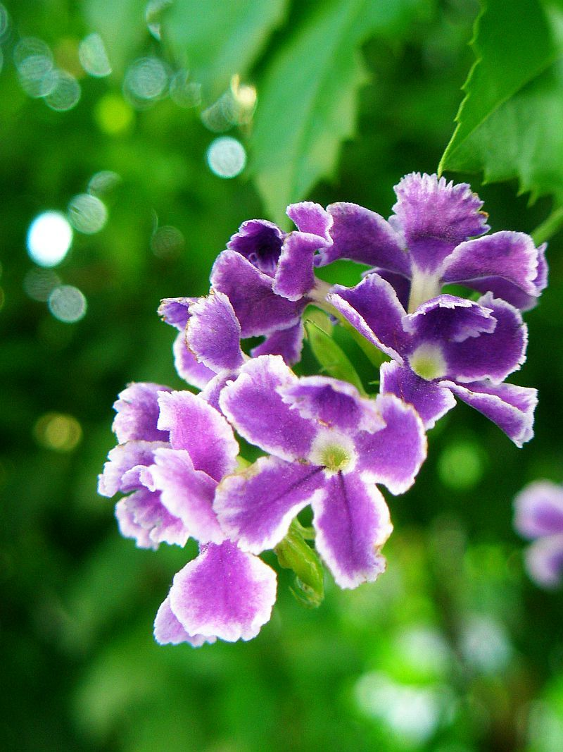 http://upload.wikimedia.org/wikipedia/commons/9/90/Duranta_%282%29.jpg
