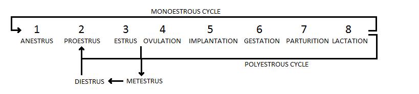 Visão geral do ciclo estral de mamíferos