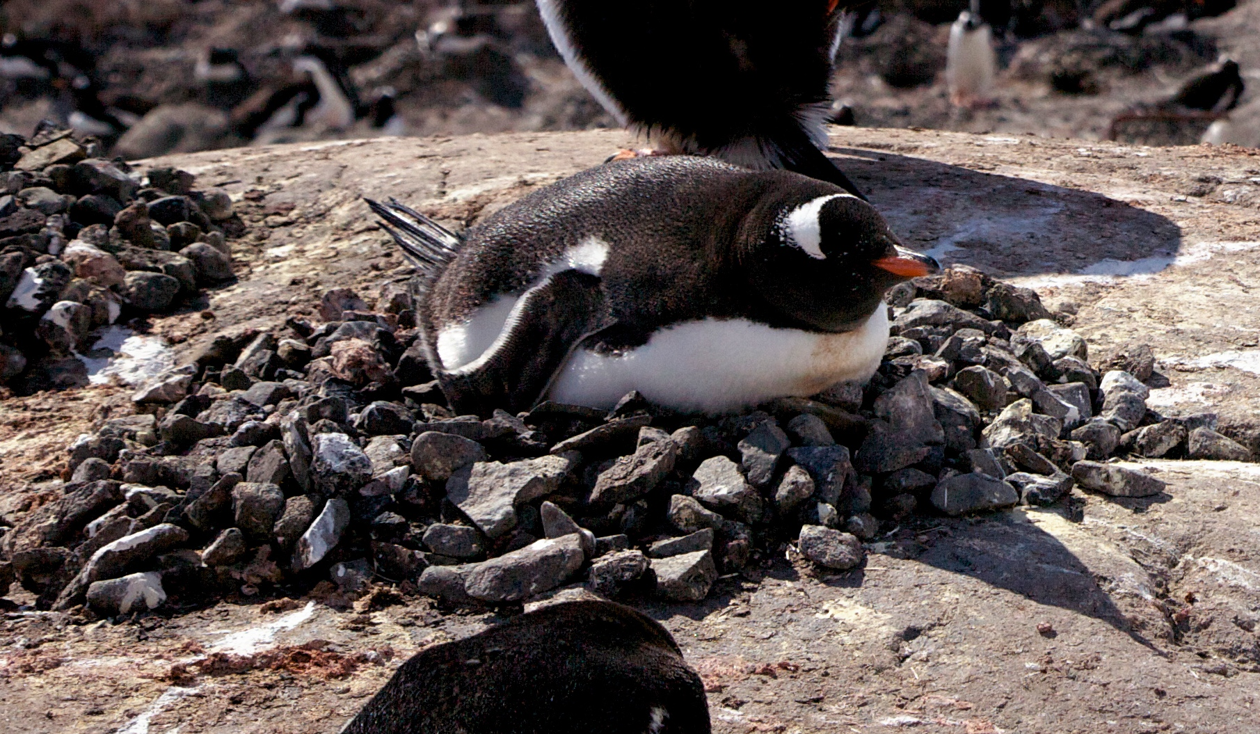 File:Gentoo penguin (P...